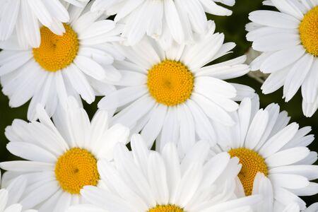 A beautiful grouping of Shasta daisies. Stock Photo - 1416669