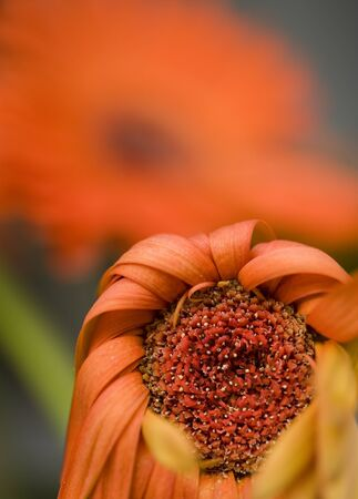 drooping: A macro shot of a drooping red daisy.