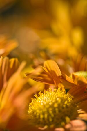 Delicate orange chrysanthemum shot as an extreme macro. photo