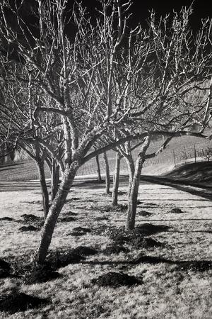 willamette: Infrared of barren fruit trees and vineyards in the Willamette Valley