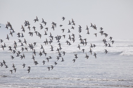 state of oregon: Flock of birds at the beach at  Fort Stevens State Park, Oregon Coast Stock Photo