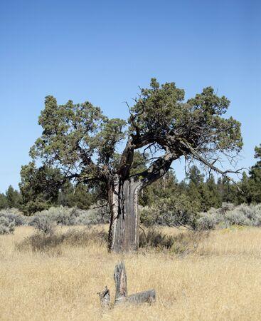 hemlock: Una muy antigua Hemlock occidental que fue alcanzado por un rayo en el Badlands �rea Silvestre de Oregon Foto de archivo