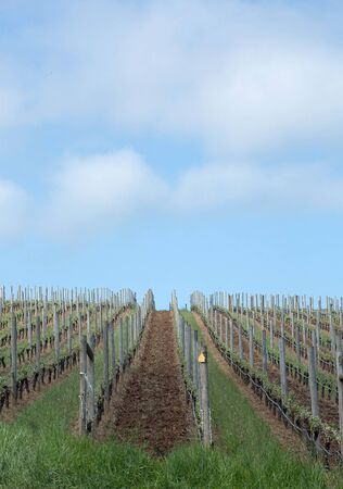 pinot: Photo of Pinot Vineyards in Oregons Willamette Valley