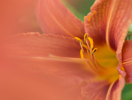 day lily: Photo of an orange day lily shot through another day lily with a macro lens. Stock Photo