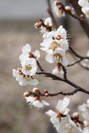 Sakura. Stock Photo