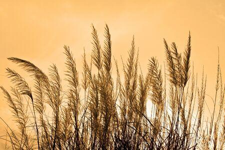 cane plumes: Prairie Stock Photo