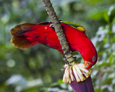 eating banana: Parrot eating banana blossom