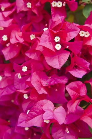 Image of bright pink Bougainvillea ; in thailand Stock Photo - 13907705