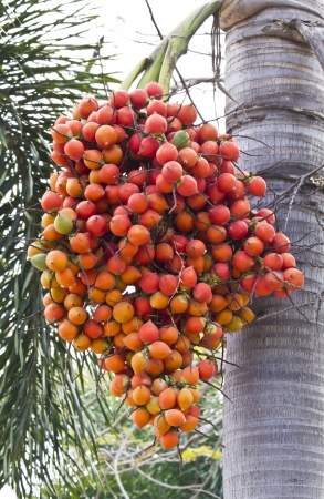Palm kernel, Group of the seeds on tree  photo