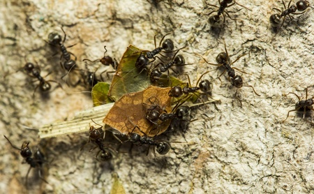 leaf cutter ant: Ants are carrying pieces of leaves.