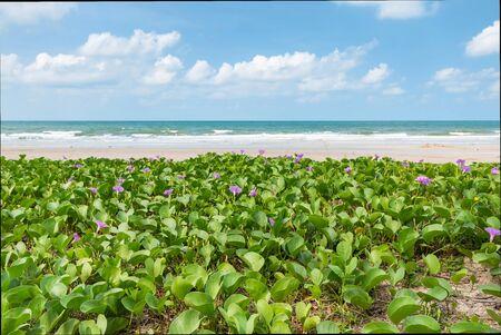 pes caprae: morning glory on the beach Stock Photo