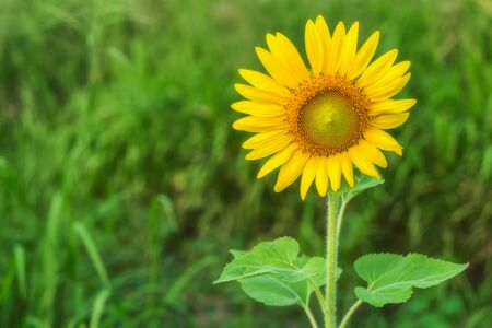 Close-up Sunflower blooming, sunflower natural background.