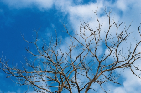 Dead tree with white trunk on blue sky background