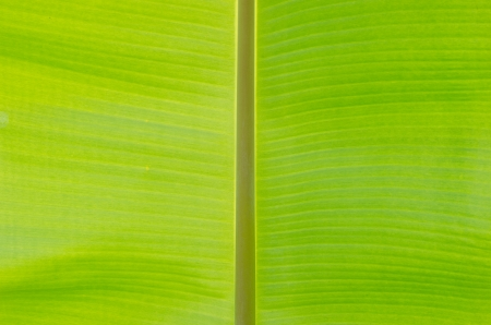 textura de folha de bananeira para seu projeto