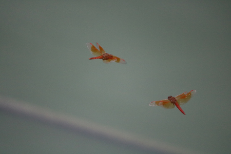 This is a photo of two butterflies flying over a pond near village.