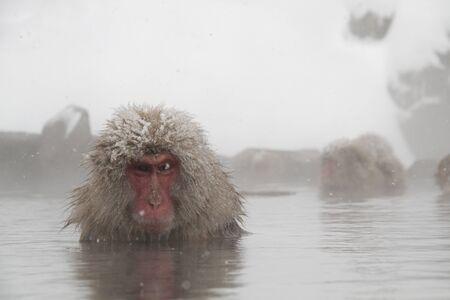 monkey in onzen , Nagano , Japan
