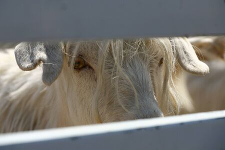 Cashmere Goat in a truck behind a wooden fense.