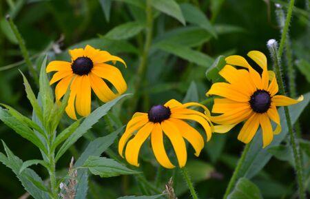 桃のブラックアイド Susans 写真素材 - 14285949