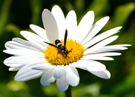 Black and White Wesp op een Pristine Daisy