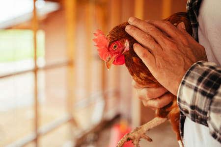 Close up asian elderly senior farmer holding chicken as a pet. Banque d'images