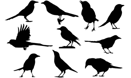 Magpie silhouette vector illustration