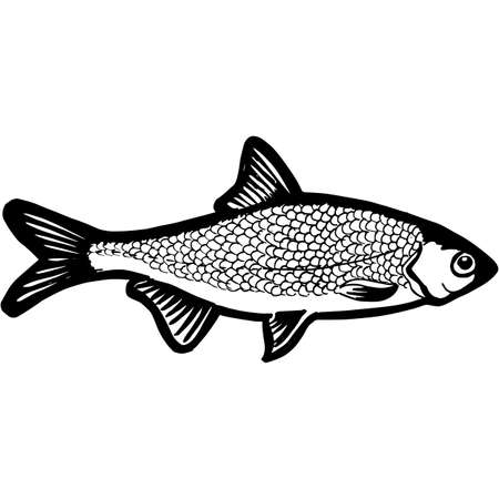 Hand Sketched Roach Fish Vector