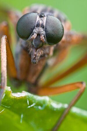compound eye: Robber Fly compound eye
