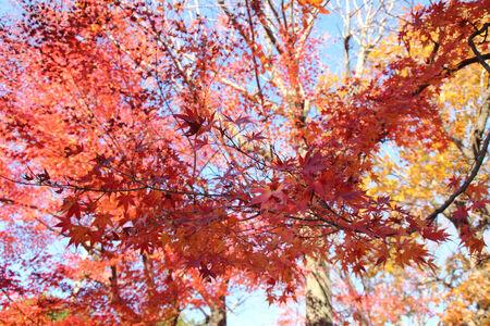 japanese red maple tree Stock Photo
