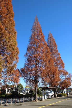 autumn tree in japan, saitama, Japan Stock Photo