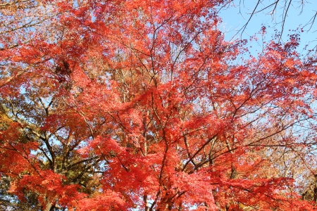 japanese red maple tree background , saitama, Japan photo