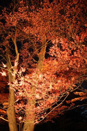 night Japanese red maple tree  background , Saitama, Japan
