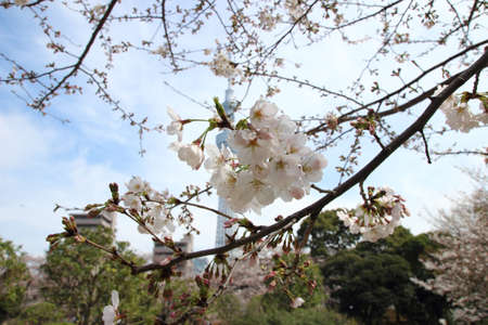 Japanese cherry blossom - Sakura photo