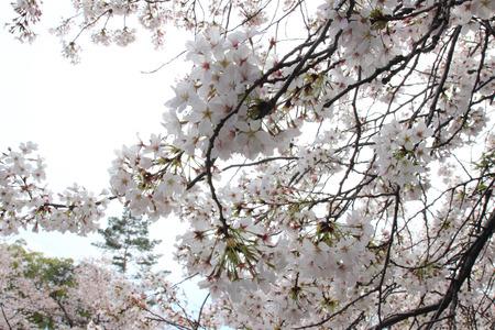 Japanese cherry blossom - Sakura