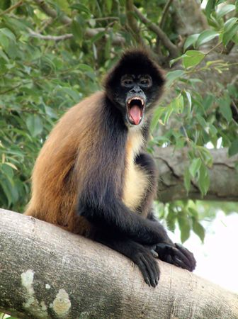 primate: A type of primate, staring open mouthed. Stock Photo