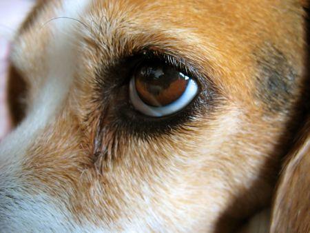 molly: A closeup of a beagles face - Molly.