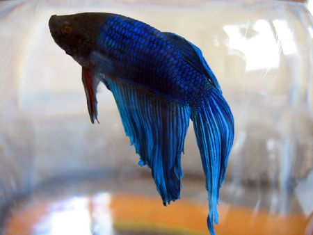 betta: A macro of my pet betta fish. Stock Photo