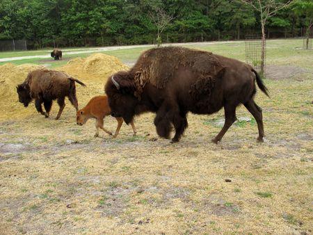a momma buffalo and a  buffalo
