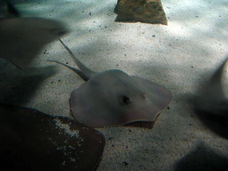 A large stingray  skate sitting on the ocean floor. photo