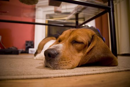 A cute beagle puppy sleeping on the floor in the living room.