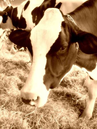 heffer: A closeup of a dairy cow eating hay in the barn - sepia tone.