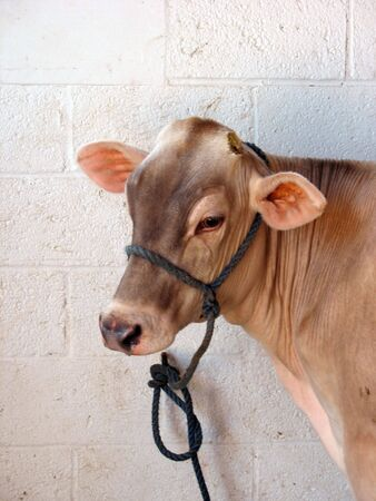 heffer: A lonely cow hanging out in the dairy barn.