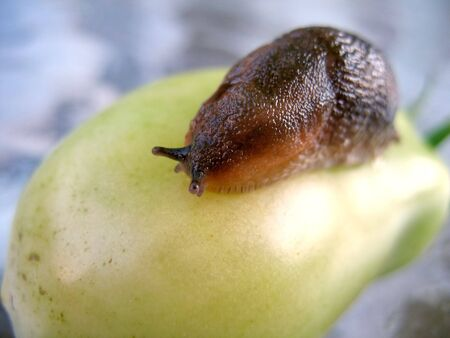 A closeup of a slug on a fresh garden tomato.
