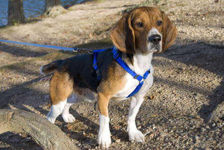 15 inch: A young, alert beagle gazing ahead on the hunt. Stock Photo