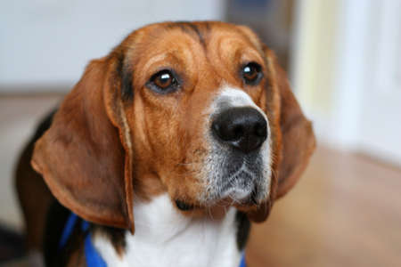 15 inch: Portrait of a young beagles face - shallow depth of field. Stock Photo