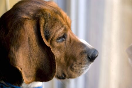 15 inch: Portrait of a young beagles face - shallow depth of field.
