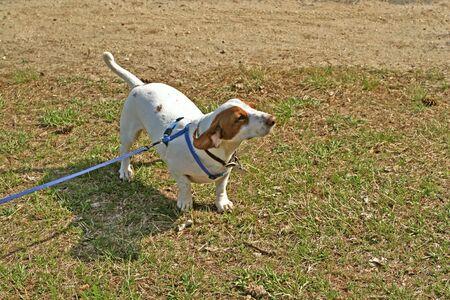 doxie: A rare white and brown purebred dachshund puppy.
