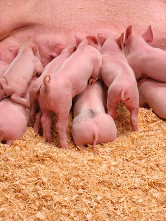 A group of hungry piglets fighting to get their fair share of milk photo