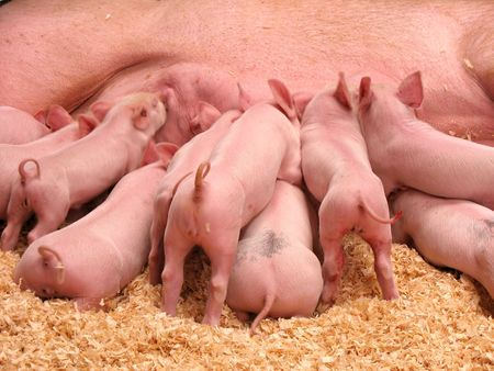 piglets: A group of hungry piglets fighting to get their fair share of lunch. Stock Photo