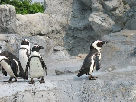 socially: Four penguins - one doesnt seem to be socially accepted in the group.  Great concept image.