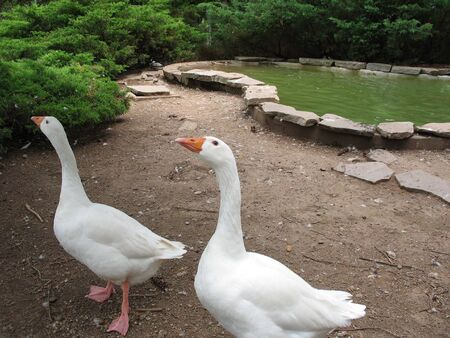 A pair of clean white geese - one more curious than the other.   Stock Photo - 3143850